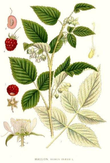 raspberryleaf.jpg