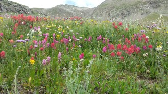 Wildflowers in the Rocky Mountains of Colorado